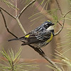 "Yellow-rumped ""Myrtle' Warbler, Setophaga coronata<br /> <br /> Every spring, hugh numbers of birds make their way across Lake Ontario, stopping at various forested locales. Thickson Woods in Whitby, Ontario is an excellent place to view migrating warblers and other songbirds. Because they are able to digest waxy berries,which last into the winter months, Yellowrumped warbler can winter much far north than other warbler species. This is my first warbler of the 2013 season."