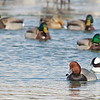 (top-green heads) Male Mallard Ana platyrhynchos<br /> (top middle) female Mallard, Anas platyrhynchos<br /> (bottom right, above Redhead) Bufflehead, Bucephala alveoli<br /> (bottom right) Redhead, Aythya americana<br /> <br /> On a small patch of unfrozen water near the marina at Frenchman's Bay, a number of waterfowl crowded together. Amazingly, as I inched myself towards them on the ice,  I was able to get quite close without disturbing the very large congregation of Canada Geese and other waterfowl.