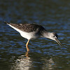 Greater Yellowlegs, Tringa melanoleuca<br /> <br /> Shorebirds like shallow water in which they can pick out their food easily.  I was pleasantly surprised to find a small pond in Whitby that hosted a good number of shorebirds. The sun glistening off their backs, I was happy that these birds allowed me to shoot them from so close.