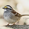 White-throated Sparrow, Zonotrichia albicollis<br /> <br /> I love how cute this sparrow is. The white throat is very prominent. A small bird found scratching around on the ground looking for bits of food.