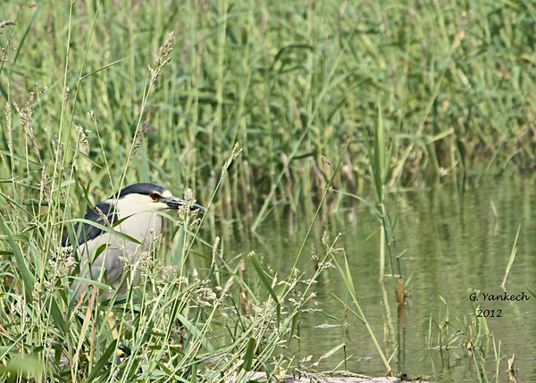 Black crowned Night heron, Nycticorax nycticorax<br /> <br /> At first I did not see this bird. He was sitting motionless in the grass. But as I panned with my scope looking for other birds, I stumbled on his red eye. I had to move carefully to get close enough for the shot. In the past I usually spooked these night herons away. Sure enough, shortly after this shot, he got annoyed and flew into the distance.