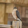 Sharp-shinned Hawk, Accipter striatus<br /> <br /> My feeders in my backyard attract many birds, including this Sharp-shinned Hawk. I have seen it take out several birds, one of which, a young male Cardinal.