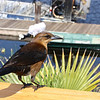 Boat-tailed Grackle, Quiscalus major<br /> <br /> I spent my 10th wedding anniversary down in Ft. Lauderdale, Florida. I was lucky enough to visit a few wildlife sites down in the everglades. At Sawgrass Recreation Park, a  Boat-tailed Grackle showed up, ironically right by the marina.