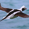 "Long-tailed Duck, Clangula hyemalis<br /> <br /> Tommy Thompson Park, better know as the Leslie Spit, is a haven for migrating birds. On the shore of Lake Ontario, many bird species, especially warblers and other songbirds, stop here to rest before moving on with their migration journey. In the winter months, one duck that can be seen in large numbers along the Lake is the Long-tailed Duck, formerly know as ""Old Squaw.""  Along the west bank one can see them flying into and out of the marina bay."
