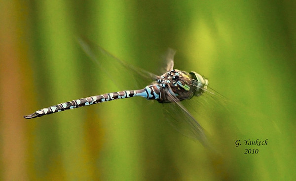 "Canada Darner, Aeshna canadensis<br /> <br /> Rouge Park, Beare Wetland, Scarborough, Ontario<br /> <br /> Aeshna species are better known as the ""mosaic"" darners,  referring to the blue, green, or yellow stripes on its thorax, and the blue, green, or yellow  spots on its abdomen"