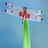 Calico Pennant, Celithemis elisa<br /> <br /> Rouge Park, Beare Wetlands, Scarborough, Ontario<br /> <br /> A very colourful pennant, perches on top of vegetation or twigs close to water, watching for prey