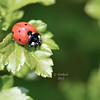 Seven Spotted Ladybug, Coccinella septempunctata<br /> <br /> Rosetta Garden, Scarborough, Ontario<br /> <br /> Introduced to North America from Europe as a pest control agent to control aphid populations