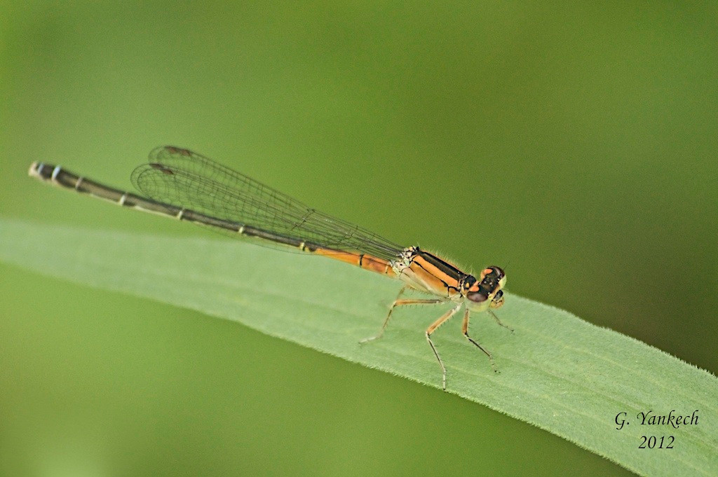"Eastern Forktail, female, Ischura verticals  Rouge Park, Scarborough, Ontario  The most common odonate in our region, chances are high you will see an Eastern Forktail in many different types of wetlands, like the Beare Wetlands in Rouge Park. This is the immature ""orange"" female form."