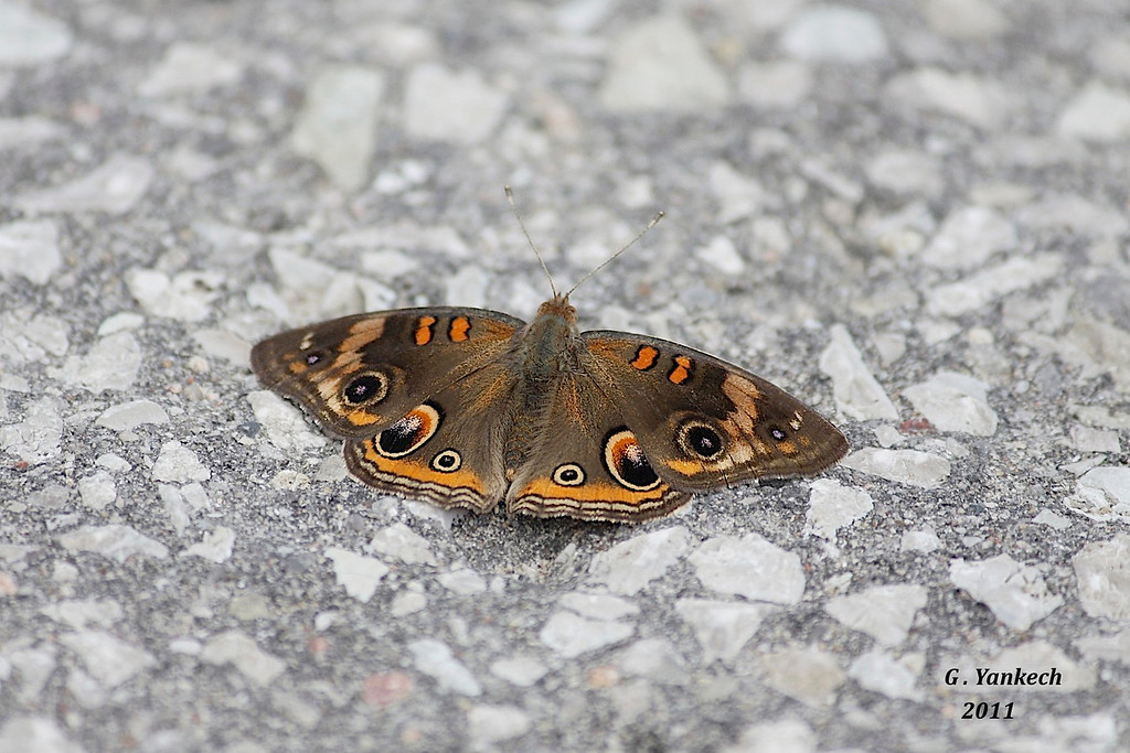 Common Buckeye, Junonia coenia<br /> <br /> Rouge Park, east of Pearse House on connecting trail, Scarborough, Ontario<br /> <br /> The only widespread brown Brushfoot  in North America, often sits on the bare ground