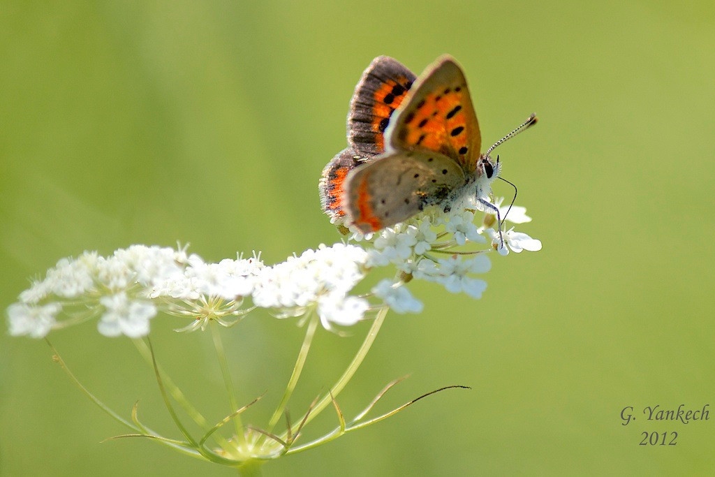 American Copper, Lycaena phlaeas<br /> <br /> Queen Anne's Lace, Daucus carota <br /> <br /> Long Sault Conservation Area, north of Bowmanville, Ontario<br /> <br /> The American Copper visit flowers and usually basks with its wings open<br /> Queen Anne's Lace is also known as Wild Carrot