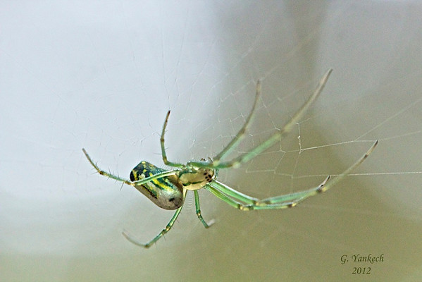 Orchard Orbweaver, Leucauge venusta<br /> <br /> Rouge Park, Ninth Line, Markham, Ontario<br /> <br /> An Orchard Orbweaver is a long-jawed orb weaver.  Orbweavers differ from cobweb spiders in that a orbweaver's web is more organized and neat, and resemble a circular pattern. Cobweb spider webs are messy and follow no set defined pattern.