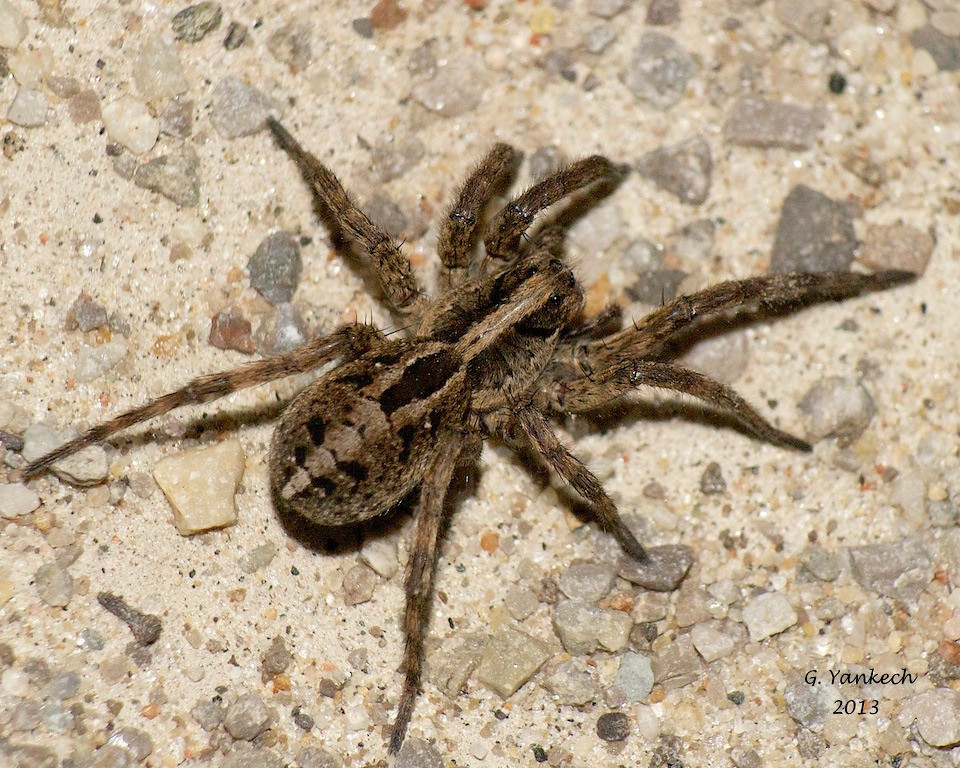 Wolf Spider- Alopecosa aculeata?<br /> <br /> species identification not confirmed <br /> <br /> Rouge Park, Scarborough, Ontario<br /> <br /> Wolf spiders do not spin webs but actively hunt their prey. They will only bite if bothered or disturbed. Usually only seen at dusk when they come out to hunt.