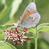 "Common Ringlet, Coenonympha tullia inornata<br /> Black Swallowwort, ""Dog Strangling Vine"",  Cynanchum nigrum<br /> <br /> Rouge Park, Woodlands Trail, Scarborough, Ontario<br /> <br /> Subspecies C. tullia inornata, found mostly in grasses but does stop at flowers"