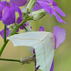 White Slant-Line Moth, Tetracis cachexiata<br /> Dame's Rocket, Hesperis matronalis<br /> <br /> Scarborough, Morningside Heights, Ontario<br /> <br /> The caterpillar of this moth resembles a twig or branch.