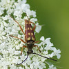 Banded Longhorn Beetle, Typocerus velutinus<br /> Queen Anne's Lace, Daucus carota <br /> <br /> Rouge Park, Glen Eagles Vista Trail, Scarborough, Ontario<br /> <br /> The Banded Longhorn beetle belongs to a large family of longhorn beetles that pollinate flowers<br /> Queen Anne's Lace attract a multitude of insect species, from wasps, to beetles, to lacewings