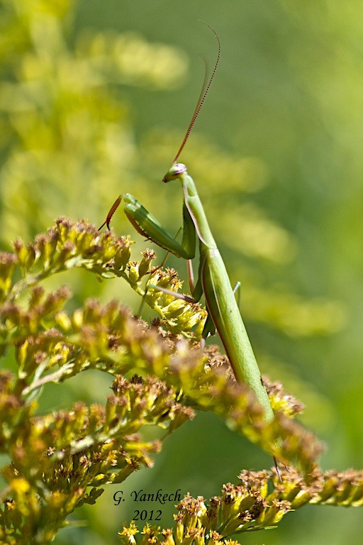 Praying Mantis, probable Mantis religiosa<br /> <br /> Rouge Park, Scarborough, Ontario<br /> <br /> There are three species of Mantids in Canada, two of which have been introduced to Ontario. The European and Chinese Mantids are both non-native but found in Ontario. The third species is native to Canada, but only found in British Columbia.