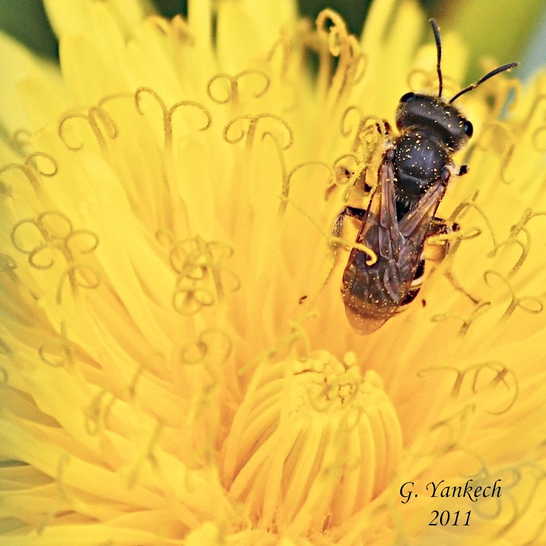 undetermined bee species<br /> Common Dandelion, Taraxacum officinale<br /> <br /> Rouge Park, Scarborough, Ontario<br /> <br /> Bees have a very important role because they pollinate flowers and are very beneficial to our farmers
