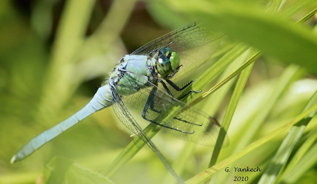 Eastern Pondhawk (male), Erythemis simplicicollis<br /> <br /> Rouge Park, Orchard Trail, Scarborough, Ontario<br /> <br /> The female of this species is very brightly coloured green and black. Pondhawks, in the family of odonates called skimmers, are found mostly near water one the edges of lakes or ponds. They sometimes can also be found basking in the morning sun hidden among grasses.