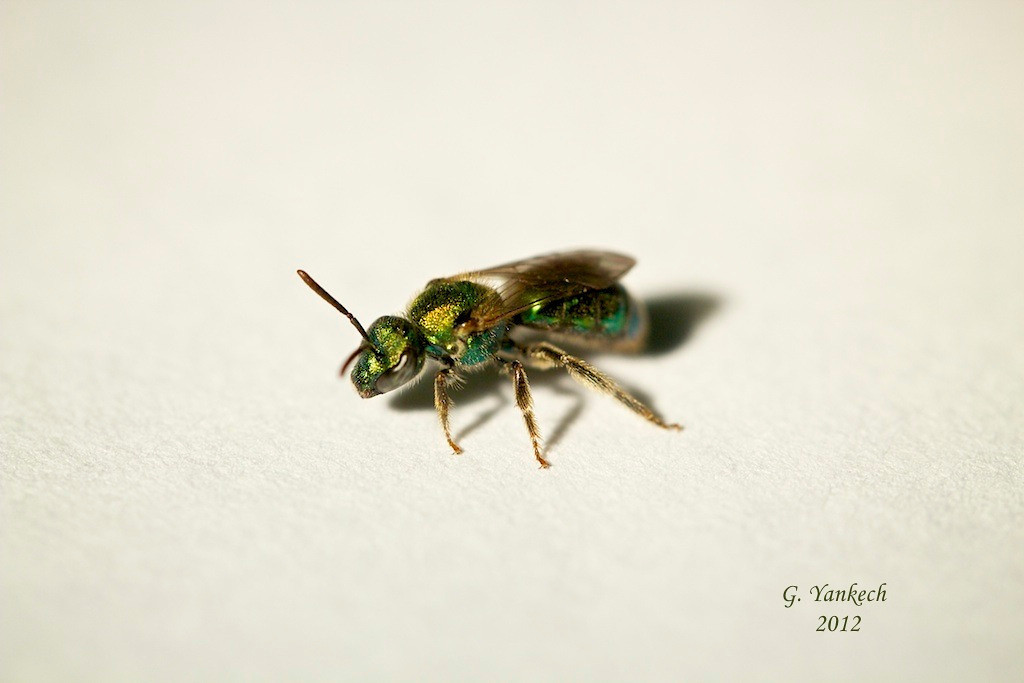 Sweat Bee, Augochlorella aurata <br /> <br /> Scarborough, Ontario<br /> <br /> This is one of only two insects in this gallery not photographed in its nature setting. I netted this sweat bee, down the street from where I live,  and photographed it at home. This species of  sweat bee is very small, only a few mm long, and is an important pollinator of wildflowers. It was not harm in the process and was eventually let go.