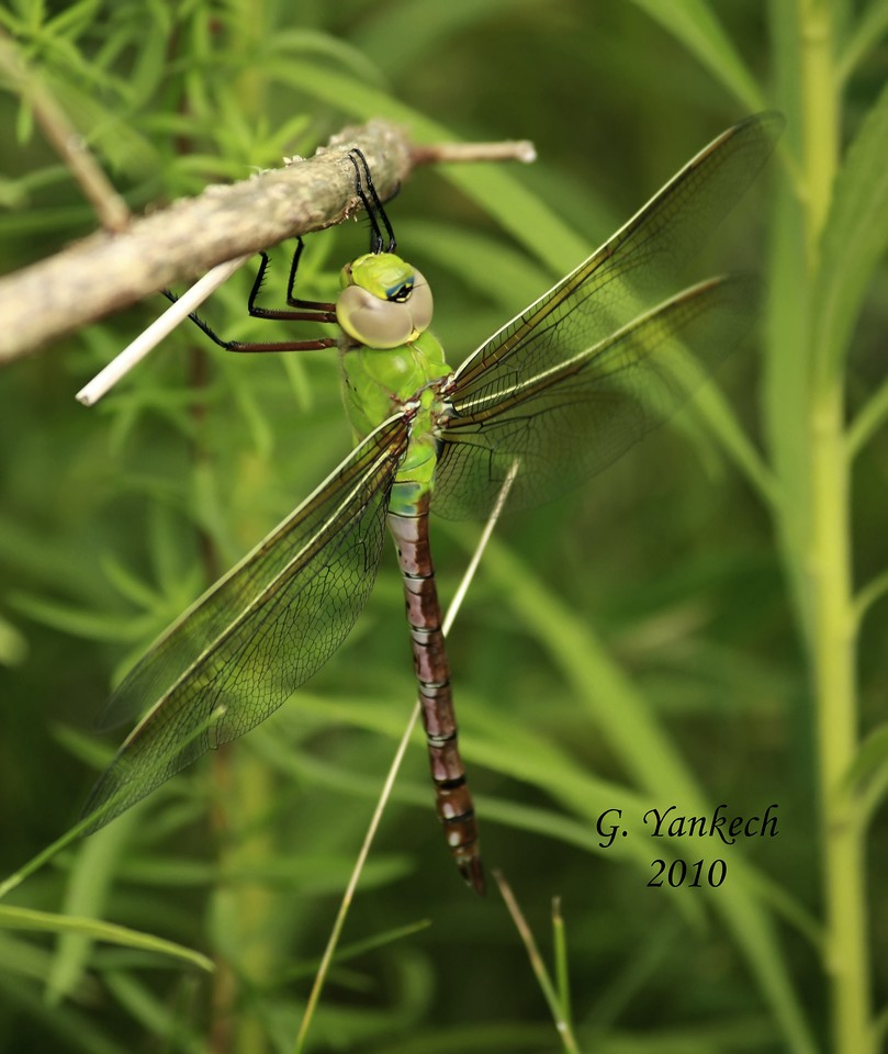 Common Green Darner, female,  Anax junius<br /> <br /> Rouge Park, Glen Eagles Vista Trail, Scarborough, Ontario <br /> <br /> The bull's eye mark on the top of its face distinguishes it from the  Comet Darner, a rare visitor to Ontario<br /> The Common Green Darner is the most commonly seen darner in our region, and one of the earliest and latest odonates of the dragonfly season