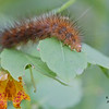undetermined caterpillar, <br /> Spotted Jewelweed, Impatiens capensis<br /> Cranberry Marsh, Whitby, Ontario<br /> <br /> There are about 170 butterflies in Ontario and over 1000 speices of moths in Eastern North America. Despite sifting through several guide books, surfing countless website, it is not easy to identify caterpillars to species. I am still working on this one.