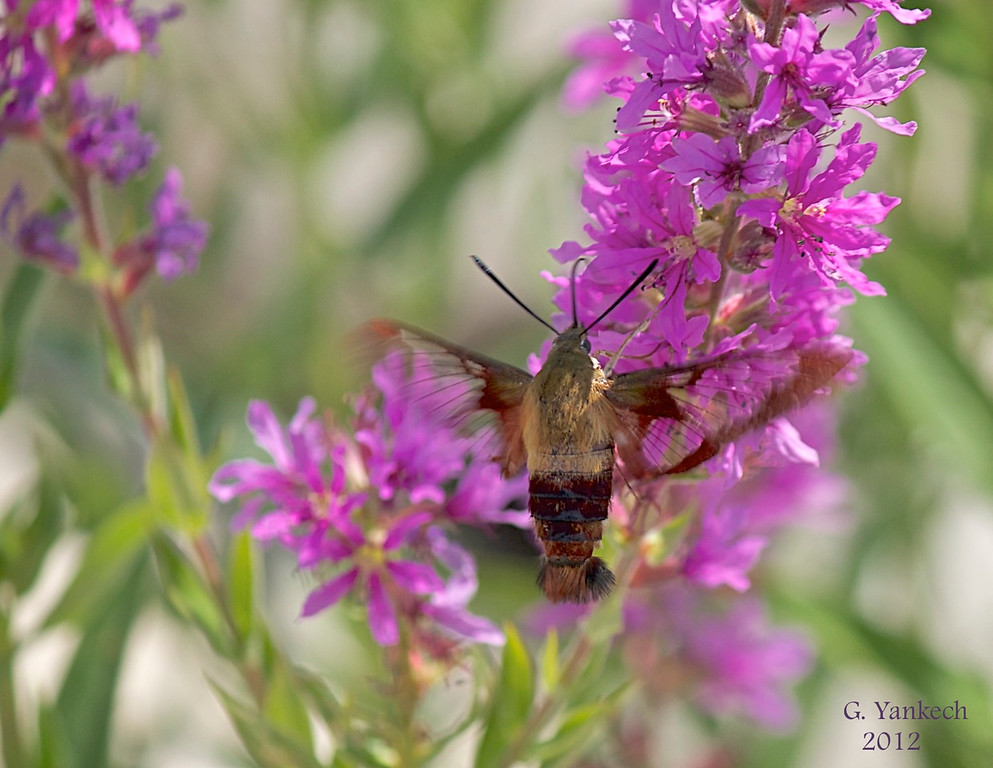 Hummingbird Clearwing Moth, Hemaris thysbe Purple Loosestrife, Lythrum salicaria  Rouge Park, 14th Ave. and Ninth line, Markham, Ontario  The wings of this daytime flier are transparent Purple Loosestrife is a highly invasive plant and in many places efforts have been made to eradicate it