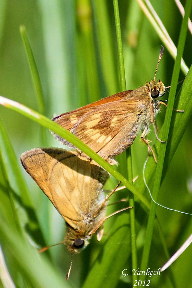 Long Dash skipper, Polites mystic<br /> <br /> Rouge Park, Woodlands Trail, Scarborough, Ontario<br /> <br /> Commonly found in grasses, many skipper butterflies resemble each other, attention to small details is needed to identify them