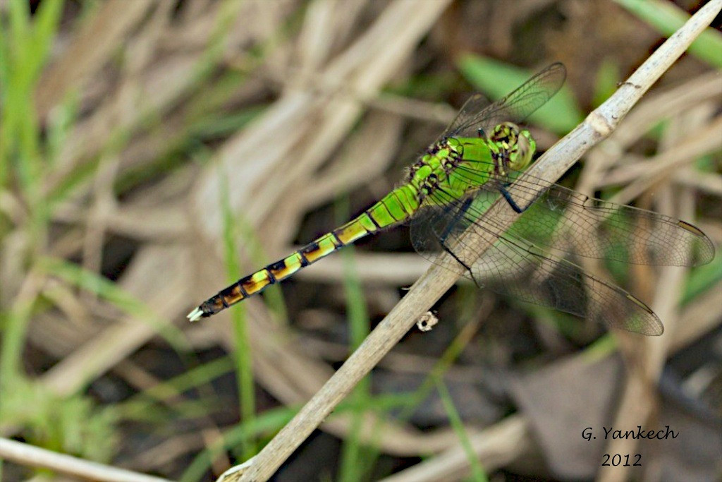 Eastern Pondhawk (female), Erythemis simplicicollis<br /> <br /> Rouge Park, Scarborough, Ontario<br /> <br /> The female of this species is very brightly coloured green and black. Pondhawks, in the family of odonates called skimmers, are found mostly near water on the edges of lakes or ponds. They sometimes can also be found basking in the morning sun hidden among grasses.
