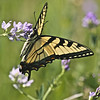Eastern Tiger Swallowtail, Papilio glaucus<br /> undetermined host plant<br /> <br /> Rouge Park, Cedar trail, Scarborough, Ontario<br /> <br /> Frequents urban gardens and meadows, swallowtails are the largest butterflies in North America