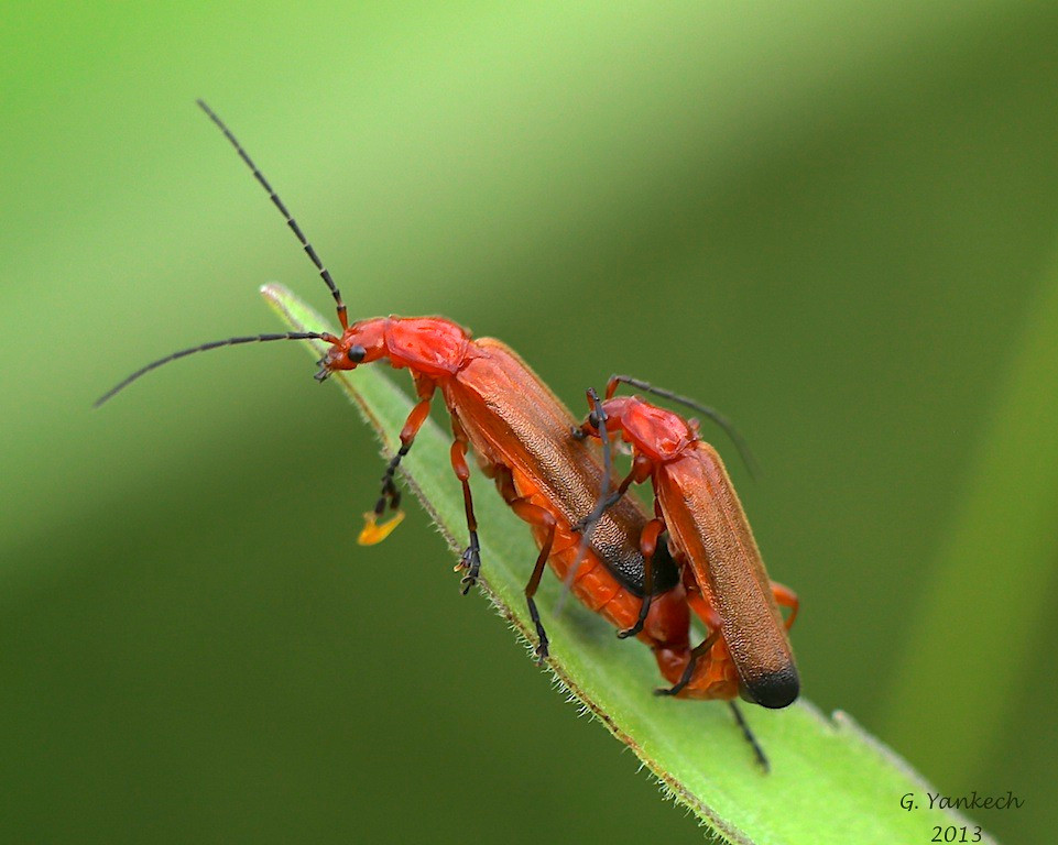 Common Red Solider Beetle, Rhagonycha fulva<br /> <br /> Scarborough, Ontario<br /> <br /> An introduced species that can be found in open fields, often on thistle.