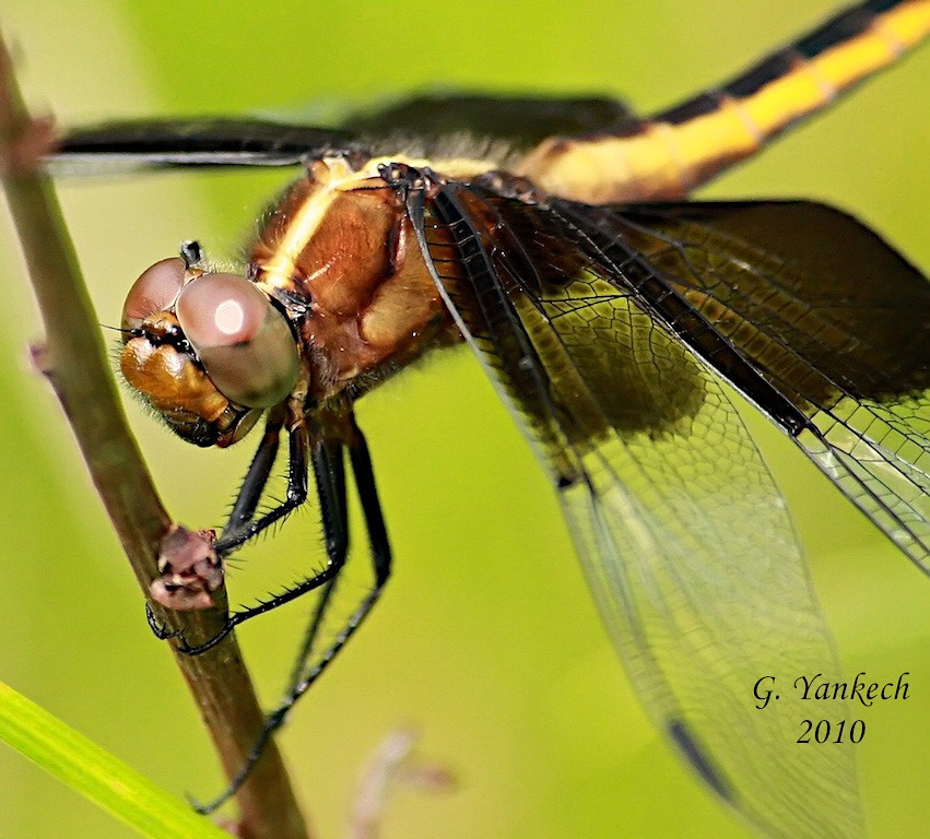 Widow Skimmer, Libellula luctuosa<br /> <br /> Rouge Park, Orchard Trail, Scarborough, Ontario<br /> <br /> Black and white wing pattern of adult males unmistakable, but  females and young males could be confused with Black Saddlebags