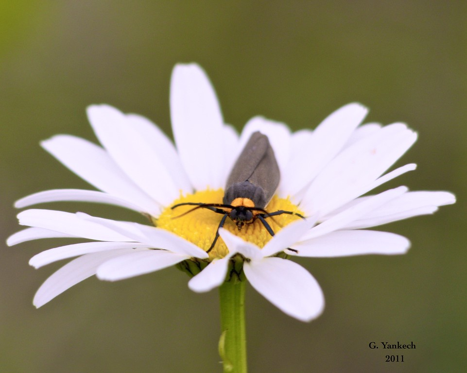 Yellow-collared Scape Moth, Cisseps fulvicollis<br /> <br /> A very similar moth to the Virginia Ctenucha Moth.