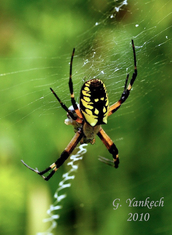 Yellow Garden Orbweaver, Argiope aurantia<br /> <br /> Rouge Park, Reesor Pond Restoration, Scarborough, Ontario<br /> <br /> A common meadow spider, they can get quite large, with a ready food supply. This species is not dangerous to humans and rarely, if ever bites