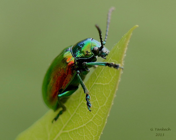 Dogbane Beetle, Chrysochus auratus <br /> <br /> Woodlands Trail, Rouge Park, Scarborough, Ontario<br /> <br /> The Dogbane Beetle reflects light from its iridescent body structure. When disturbed its emits a foul smell to ward off predators. In 1999, it featured on a US stamp.
