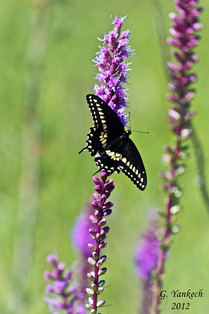 Black Swallowtail, Papilio polyxenes<br /> <br /> Rouge Park, 14th Ave. and Ninth line, Markham, Ontario<br /> <br /> Frequents urban gardens, swallowtails are the largest butterflies in North America