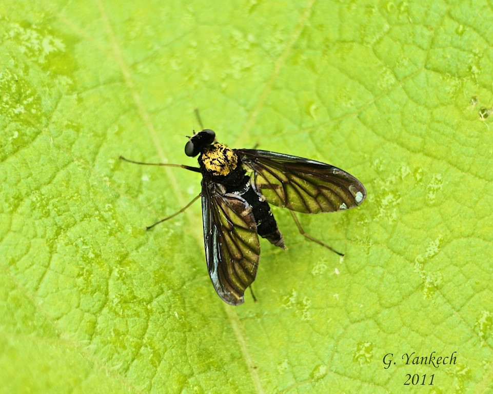 Golden-backed Snipe fly, Chrysopilus thoracicus<br /> <br /> Rouge Park, Vista Trail, Scarborough, Ontario<br /> <br /> Little is know about the life cycle of this fly, it prefers woodland areas