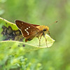 Leonard's Skipper, Hesperia leonardus<br /> <br /> Long Sault Conservation Area, North of Bowmanville, Ontario<br /> <br /> A somewhat uncommon late season skipper