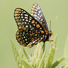 Baltimore Checkerspot, Euphydryas phaeton<br /> <br /> Rouge Park, Cedar trail, Scarborough, Ontario<br /> <br /> Named after the orange and black of Lord Baltimore, frequents place where its host plants, turtlehead is found