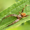 Arabesque Orbweaver, Neoscona arabesca<br /> <br /> Rouge Park, Woodlands Trail, Scarborough, Ontario<br /> <br /> During the day, this species of Neoscona curls up in a leaf nearby its web, at night it comes out and stays close to centre of its web