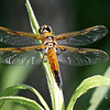 Four-spotted Skimmer, Libellula quadrimaculata<br /> <br /> Rouge Park, Celebration Forest, Scarborough, Ontario<br /> <br /> In the spring, this skimmer can be found far from any water source, low in vegetation or on the ground