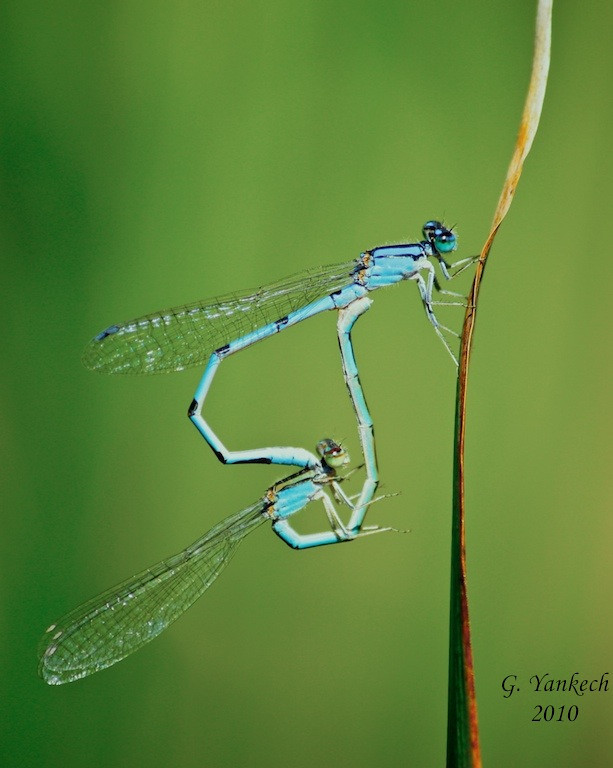 Bluet damselflies mating, undetermined species<br /> <br /> Rouge Park, Beare Wetlands, Scarborough, Ontario<br /> <br /> Bluet damselflies pose a great challenge to identify to species level, unless caught and observed with a hand lens. I decided to leave this mating pairs of bluets alone.