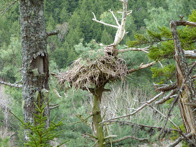Bald Eagle nest in Gaspereau River valley
