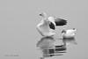 Snow Geese Fog- 1-25-15  Black&White-