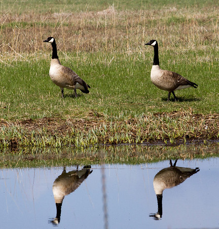 geese, osprey and rainbows