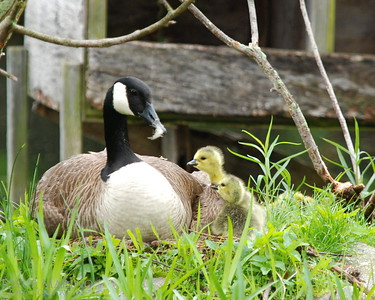 Mama goose with a tuft of feathers on her nose watching over newly hatched goslings -- DSC_0197