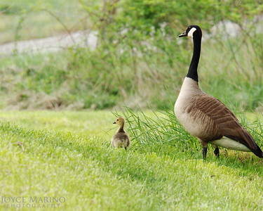 Looks like mama or papa goose and baby goose checking waiting on the others.