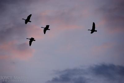 Geese in evening sky -- DSC_0103r