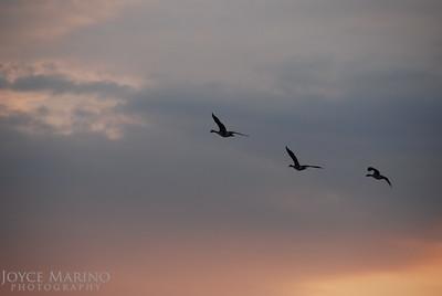 Geese in evening sky -- DSC_0127