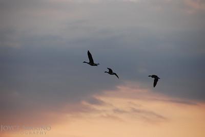 Geese in evening sky -- DSC_0126