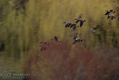 Flock of Geese -- DSC_0621